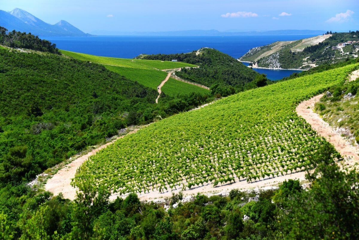 vineyards in southern croatia